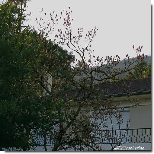 2017-03-13 magnolia