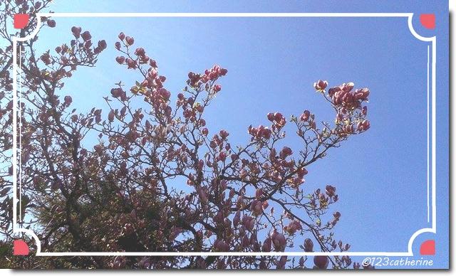 2017-03-20 magnolia
